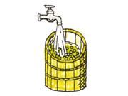 豌豆(えんどうまめ)を水洗いし、そして一日うましておく。